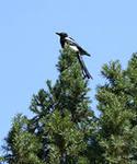 iCAP8XBM0 Сорока высоко на дереве