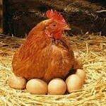 Народные приметы о куриных яйцах